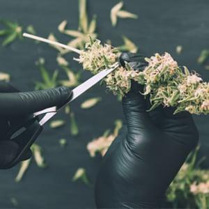 Cannabis-Cultivation