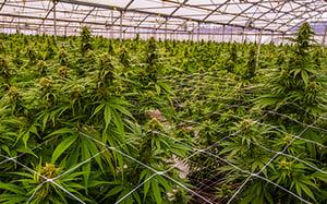 Cannabis Indoor Grow Operation