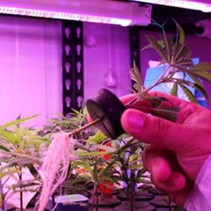Cannabis-Plant-Clones